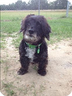 Poodle (Miniature) Mix Dog for adoption in Barnwell, South Carolina - Pete