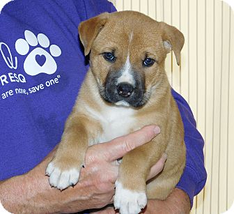 Boxer Mix Puppy for adoption in Conesus, New York - Rocky
