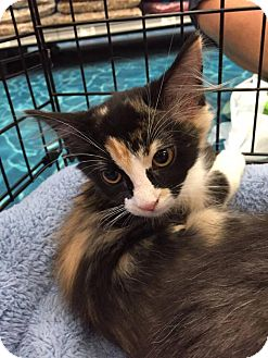 Calico Kitten for adoption in Mansfield, Texas - Ruth