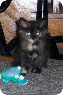 Domestic Longhair Kitten for adoption in Brighton, Michigan - Mary