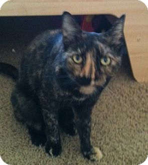 Domestic Shorthair Cat for adoption in Vacaville, California - Nessa