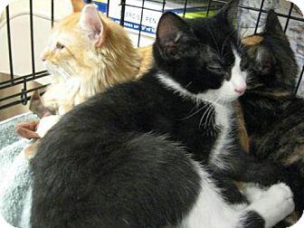 Domestic Shorthair Cat for adoption in Logan, Utah - Marlow