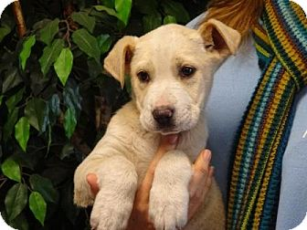 Pit Bull Terrier Mix Puppy for adoption in Lathrop, California - Riley