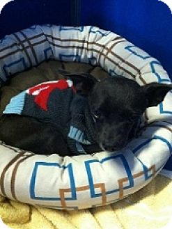 Chihuahua Mix Dog for adoption in Mesa, Arizona - Sam