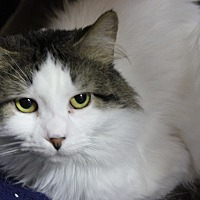 Domestic Mediumhair Cat for adoption in New Richmond,, Wisconsin - Montana