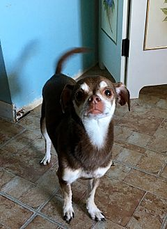 Chihuahua Dog for adoption in Red Lion, Pennsylvania - Moemo