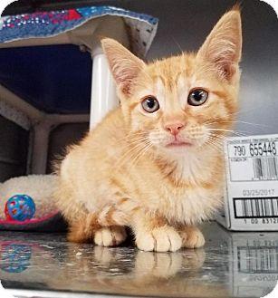 Domestic Shorthair Kitten for adoption in Stillwater, Oklahoma - Desiree