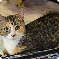 Adopt A Pet :: Pebbles - Middletown, NY