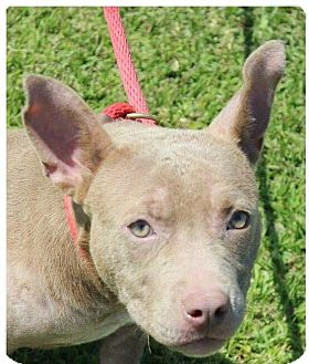 American Pit Bull Terrier Mix Dog for adoption in Waggaman, Louisiana - Buttercup