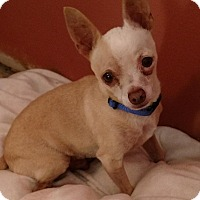 Adopt A Pet :: Artemis - San Diego, CA