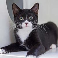 Adopt A Pet :: Chubby - Merrifield, VA