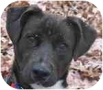 Labrador Retriever/Terrier (Unknown Type, Medium) Mix Dog for adoption in Eatontown, New Jersey - Max