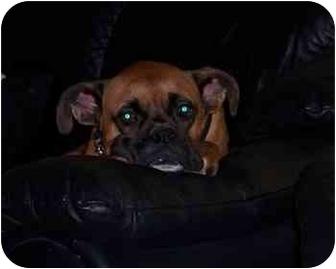 Boxer Dog for adoption in Thomasville, Georgia - Nicholas
