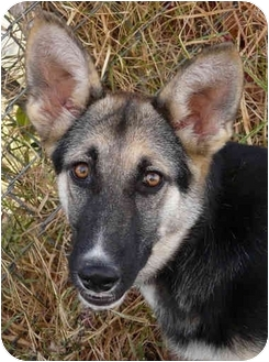 German Shepherd Dog Puppy for adoption in Los Angeles, California - Desani von Dillinger