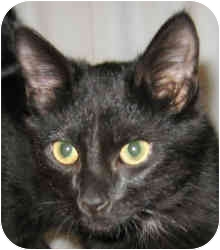 Domestic Shorthair Cat for adoption in Columbia, Illinois - Jangle