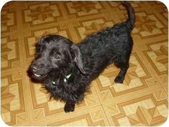 Dachshund Dog for adoption in Lawndale, North Carolina - Waldo