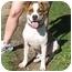 Photo 2 - American Pit Bull Terrier/American Bulldog Mix Dog for adoption in Berkeley, California - Albert