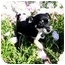 Photo 1 - Chihuahua Mix Puppy for adoption in Farmers Branch, Texas - Chasey Lane