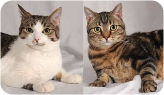 Domestic Shorthair Cat for adoption in Chicago, Illinois - Tibby & Rey