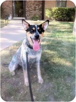 Australian Cattle Dog/Australian Cattle Dog Mix Dog for adoption in San Angelo, Texas - Sweetie