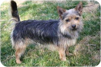 Australian Terrier/Yorkie, Yorkshire Terrier Mix Dog for adoption in Edmonton, Alberta - Baxter