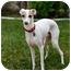 Photo 2 - Italian Greyhound Dog for adoption in Costa Mesa, California - Benito - OC