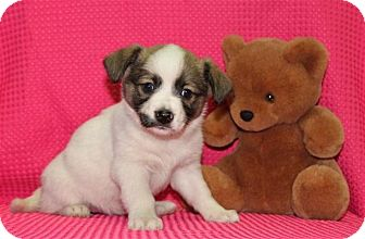 Chihuahua/Terrier (Unknown Type, Small) Mix Puppy for adoption in Salem, New Hampshire - Freezer