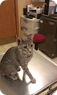 Domestic Shorthair Cat for adoption in New London, Wisconsin - Stretch