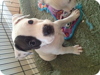 Bulldog Mix Puppy for adoption in Valley Village, California - Petey
