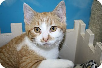 Domestic Shorthair Kitten for adoption in West Des Moines, Iowa - Cirrano