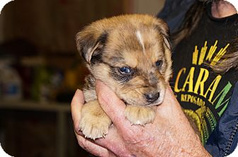 Catahoula Leopard Dog Mix Puppy for adoption in Conway, Arkansas - Cooper aka Stella 6