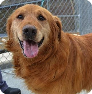 Golden Retriever Dog for adoption in Foster, Rhode Island - Tino