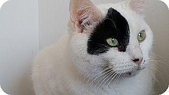 Domestic Mediumhair Cat for adoption in Palatine, Illinois - Captain