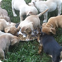 Adopt A Pet :: Lab Mix Babies - Marlton, NJ