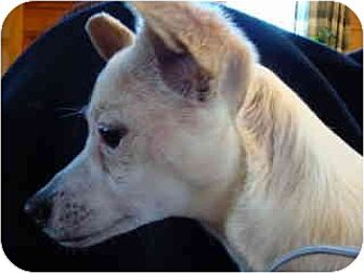 Chihuahua/Pug Mix Dog for adoption in Old Fort, North Carolina - SweetPea