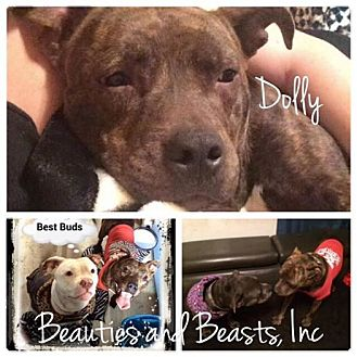 American Pit Bull Terrier Mix Dog for adoption in Wichita, Kansas - Dolly