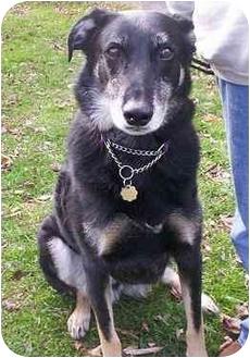 Labrador Retriever/German Shepherd Dog Mix Dog for adoption in Honesdale, Pennsylvania - Tiger