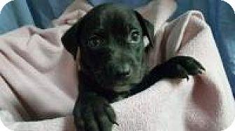 Labrador Retriever Mix Puppy for adoption in Marlton, New Jersey - Pepper