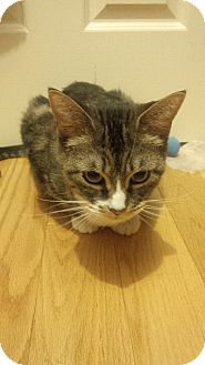 Domestic Shorthair Cat for adoption in Toronto, Ontario - Ginny