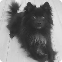 Adopt A Pet :: Max - Mount Kisco, NY