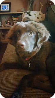 Golden Retriever/Labrador Retriever Mix Dog for adoption in Harrisburg, Pennsylvania - Willard