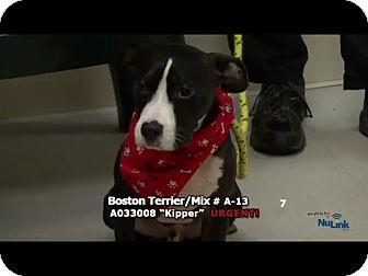 Boston Terrier Mix Puppy for adoption in Newnan City, Georgia - Kipper