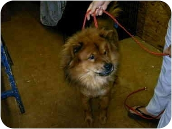 Chow Chow Dog for adoption in Charleston, South Carolina - Hector