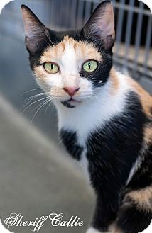Calico Cat for adoption in Manahawkin, New Jersey - Sheriff Callie