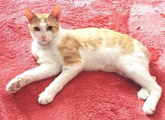 Domestic Mediumhair Cat for adoption in St. Cloud, Florida - Tale