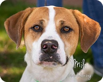 Labrador Retriever/Australian Cattle Dog Mix Dog for adoption in Cheyenne, Wyoming - Milo