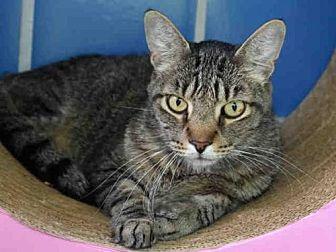 Domestic Mediumhair Cat for adoption in Austin, Texas - RJ