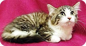 Domestic Mediumhair Kitten for adoption in Watauga, Texas - Juno