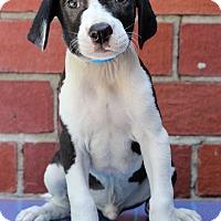 Adopt A Pet :: Cricket - Waldorf, MD