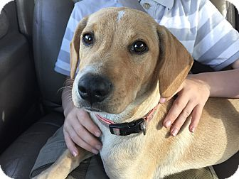 Labrador Retriever/Whippet Mix Puppy for adoption in Boerne, Texas - Lucie